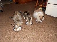 3 cats having a bite